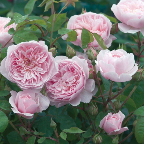 Роза Оливия Роуз Остин: отзывы + фото