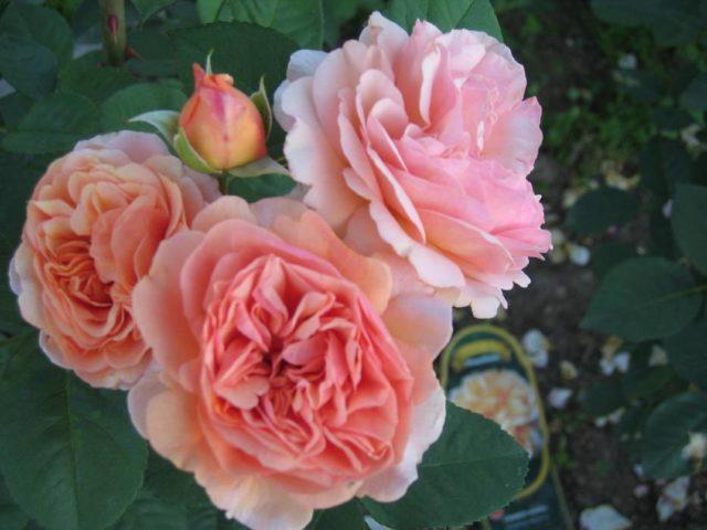Роза Чарльз Остин: отзывы + фото