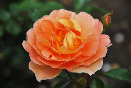Роза Пэт Остин: фото и описание, отзывы