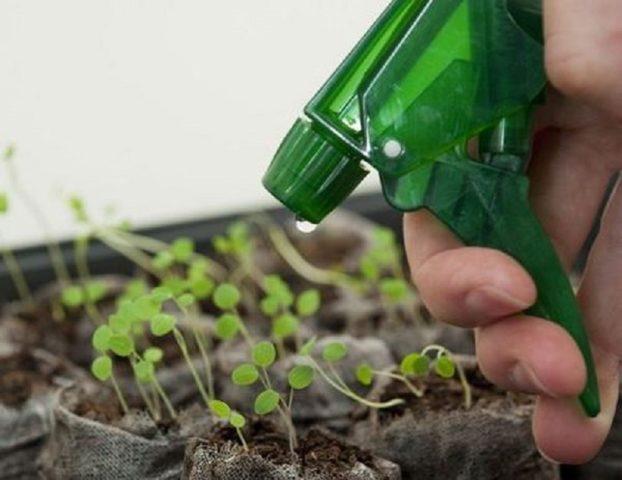 Посадка цикламена семенами в домашних условиях