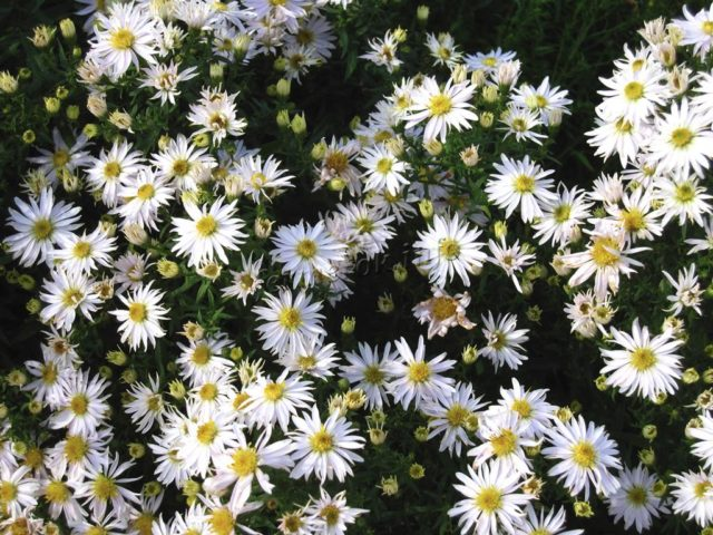 Белые многолетники: фото с названиями цветов