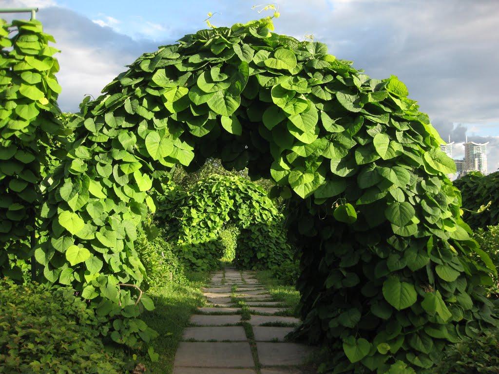подозрений заражение лианы для сада фото и названия будучи еще недавно