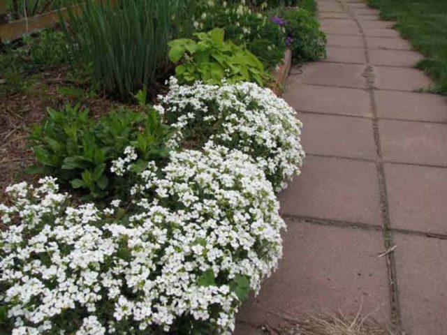Бордюрные цветы многолетники