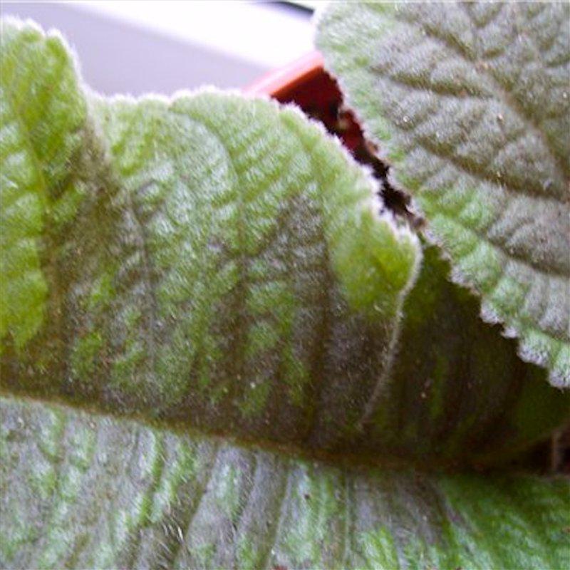 сохнет лист глоксинии фото возник