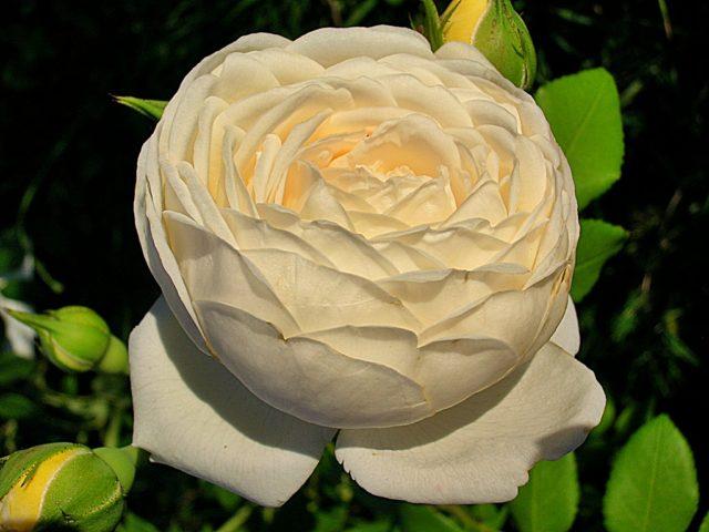 Шраб роза Клэр Остин: отзывы, посадка и уход