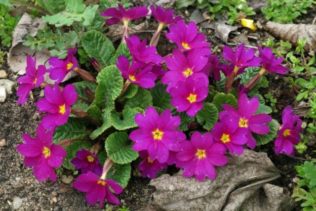 Садовые ранние цветы-многолетники