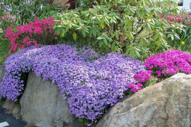 Стелющиеся цветы-многолетники с фото и названиями