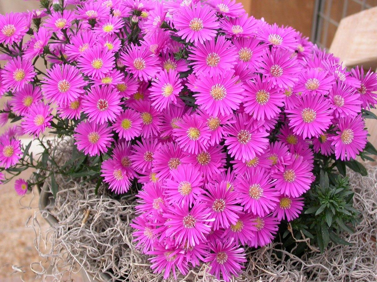 Виды многолетних цветов фото
