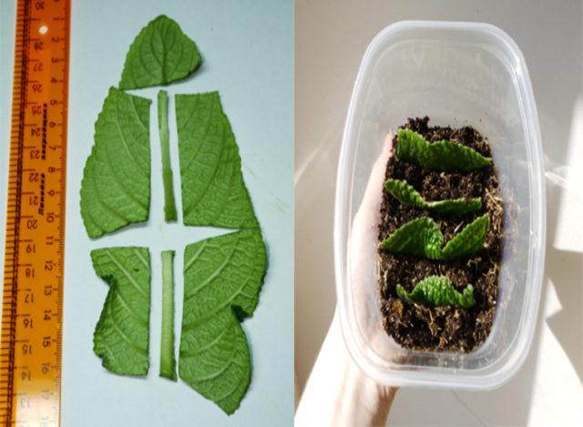 Как размножить стрептокарпус с листа: как укоренить, как посадить, как вырастить, видео