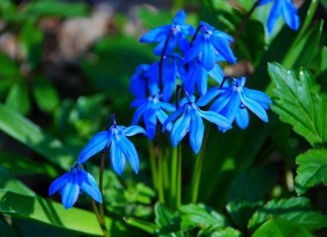 Многолетники для Сибири, цветущие все лето