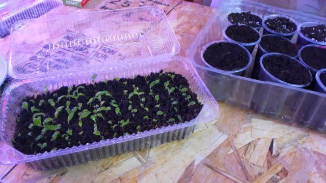 Стрептокарпусы: уход и выращивание из семян, правила размножения