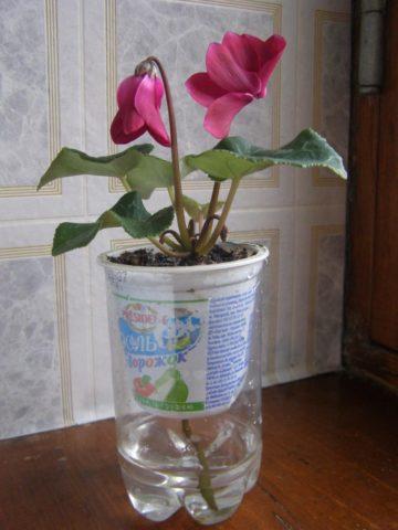 Цикламен: полив во время цветения, зимой, в период покоя и роста листьев