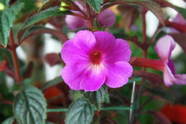 Цветок ахименес: уход и размножение в домашних условиях, фото, болезни и вредители