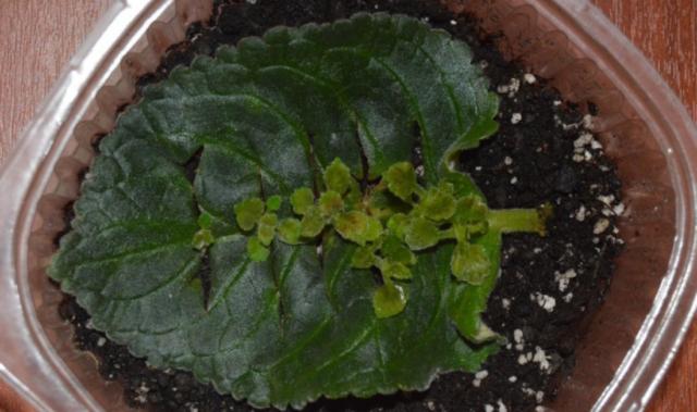 Размножение глоксинии листом в домашних условиях пошагово с фото и видео