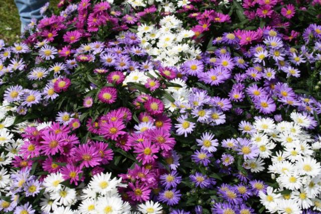 Солнцелюбивые многолетники для сада