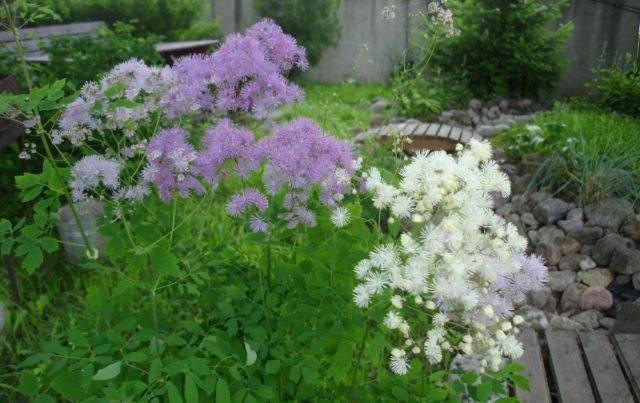 Высокорослые цветы многолетники