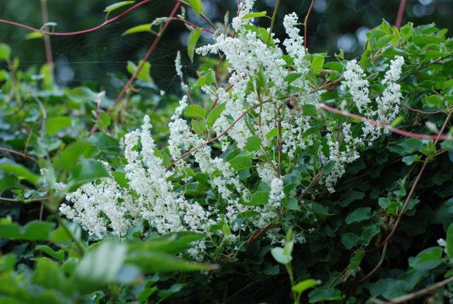 Вьющиеся многолетники для сада, цветущие все лето: фото и названия