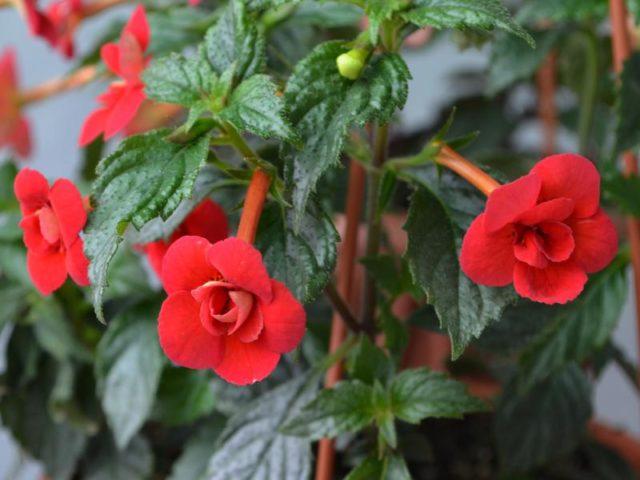 Ахименес: названия сортов, фото цветов