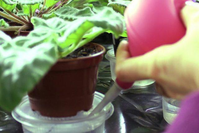 Цветы стрептокарпусы: уход и выращивание, видео, фото, полив, подкормка