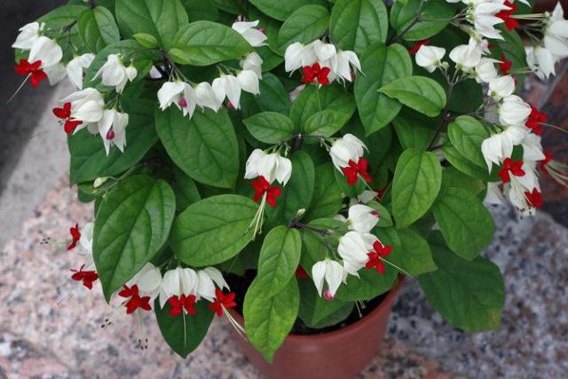 Почему не цветет клеродендрум в домашних условиях и как заставить его цвести