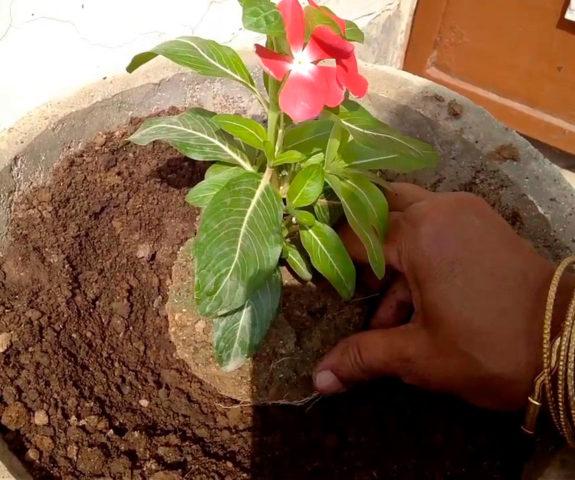Как и когда сеять семена катарантуса на рассаду