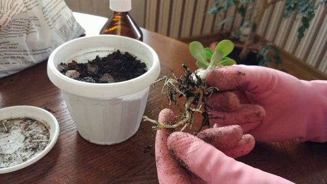 Как вырастить адениум из семян в домашних условиях: фото, отзывы