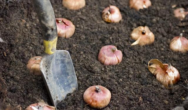 Посадка гладиолусов в грунт весной: когда и как высаживать, советы