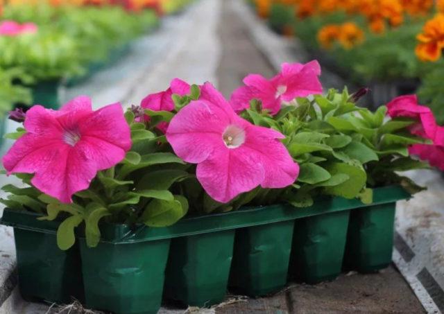 Подкормка рассады петунии: чем удобрять в домашних условиях