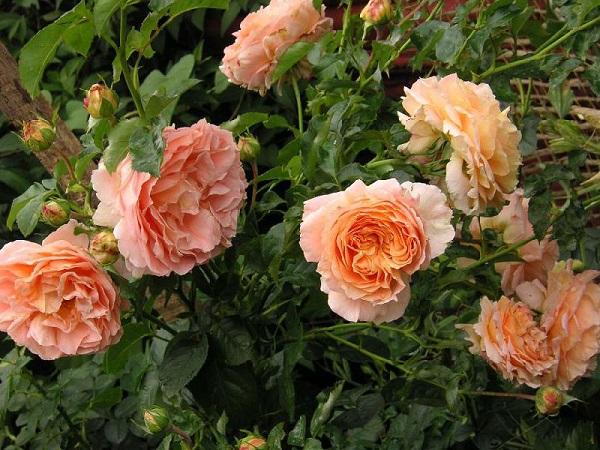 Плетистая роза Полька: описание сорта, фото
