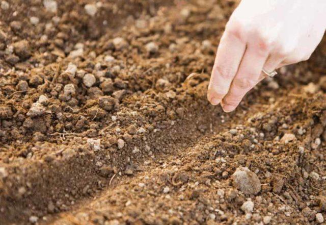 Посев астры в открытый грунт весной: когда сеять, уход, фото