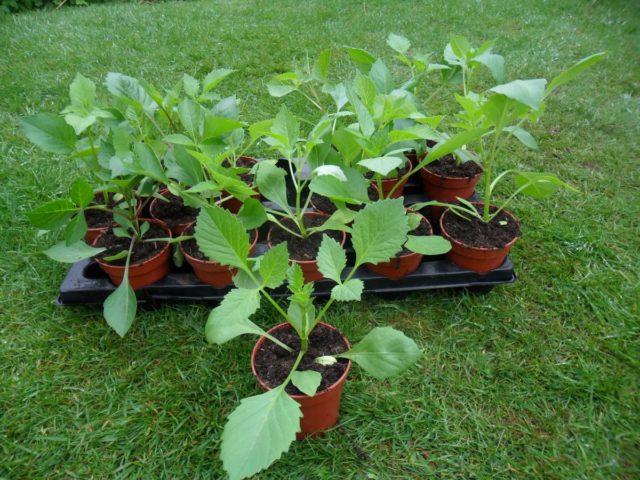 Как и когда сажать семена георгин на рассаду – уход, фото