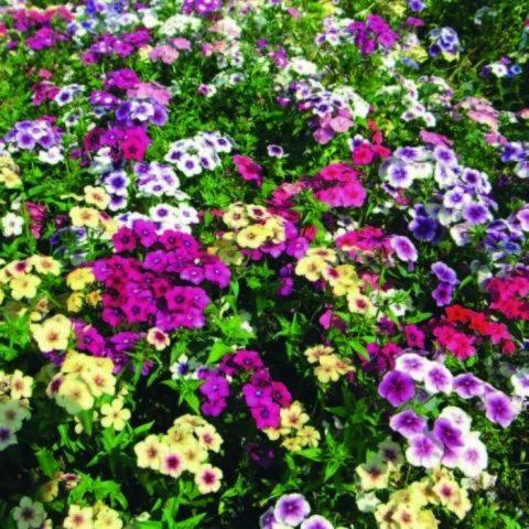 Выращивание однолетнего флокса Друммонда из семян: посев и уход за рассадой