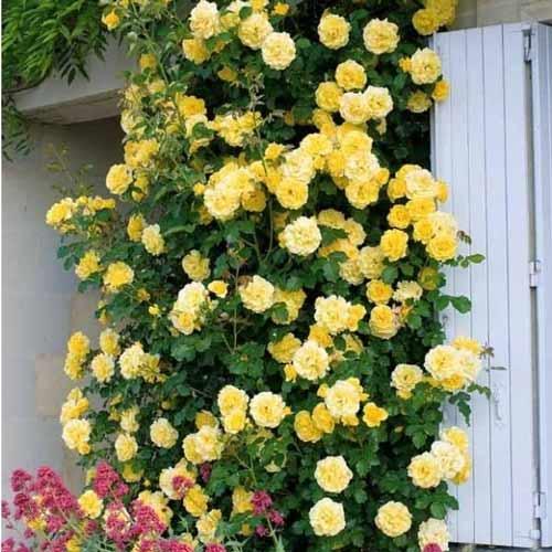 Плетистая желтая роза Casino (Казино): описание сорта, посадка и уход