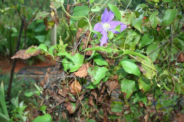 Лучшие сорта клематисов для Сибири: фото, посадка из семян, уход