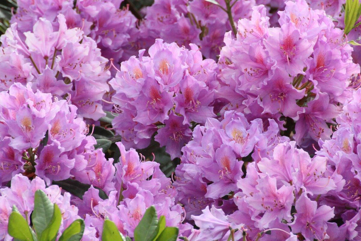 нужно цветущий кустарник фото с названиями в питере для