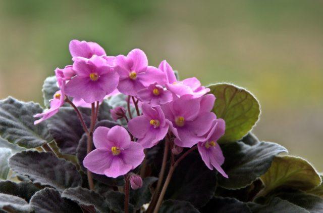Многолетние цветы с сиреневыми и фиолетовыми цветами