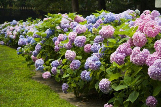 Кустарниковые многолетники – цветущие, зимостойкие, фото