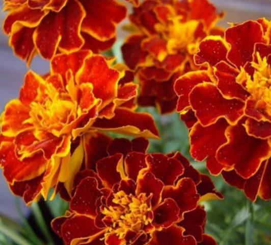 Бархатцы: низкорослые, крупноцветковые сорта с фото, разновидности