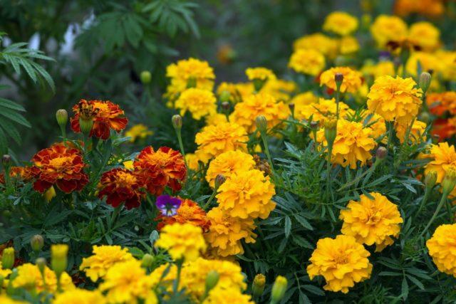Все виды садовых цветов многолетников для Урала: фото с названиями