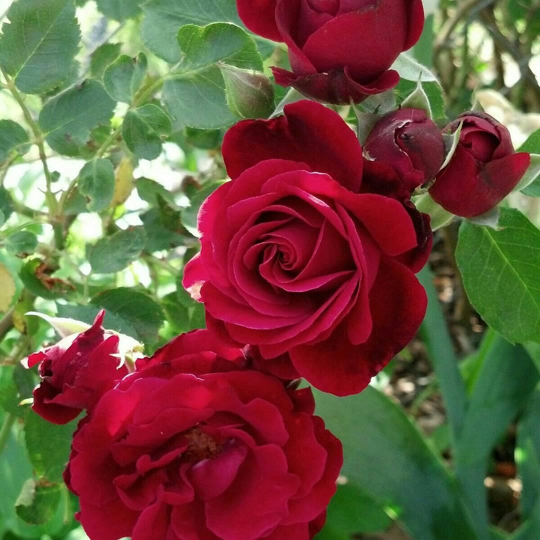 Роза плетистая Дон-Жуан: описание сорта и отзывы