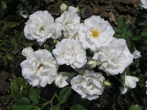 Полиантовые розы: что это такое, чем отличаются от миниатюрных, фото