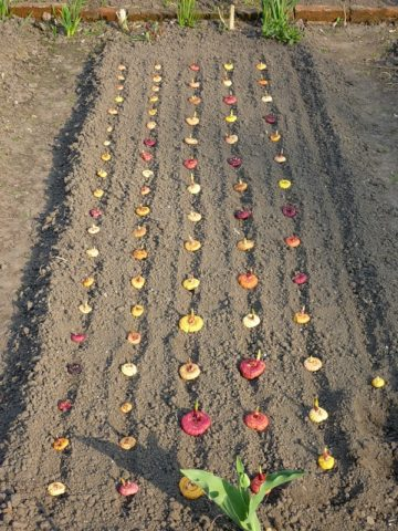 Посадка гладиолусов в открытый грунт весной в Подмосковье