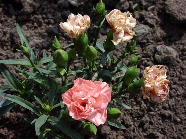 Садовая гвоздика Лилипот: посадка, выращивание, фото