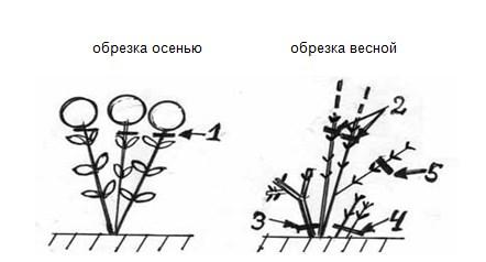 Как обрезать гортензию древовидную весной