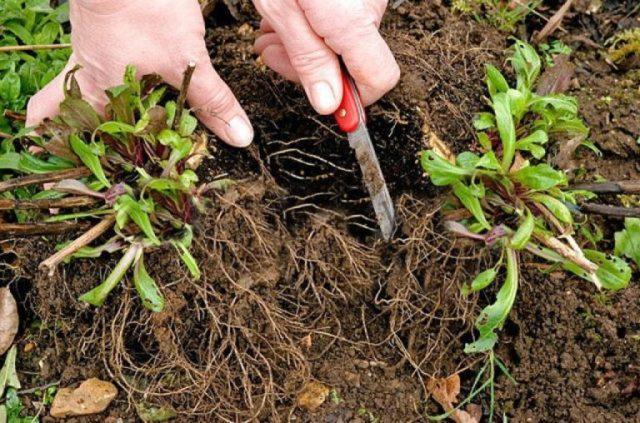 Астра альпийская: выращивание из семян многолетней смеси, когда сажать, уход, фото