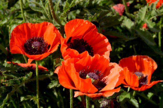 Неприхотливые многолетние цветы для кладбища: фото с названиями