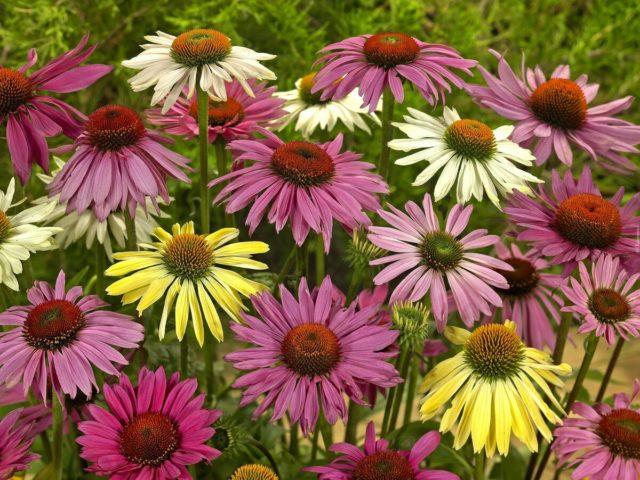 Красивые и неприхотливые многолетники из семян для дачи с фото