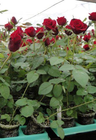 Плетистая роза Дон Жуан (Don Juan): фото и описание, как сформировать, уход