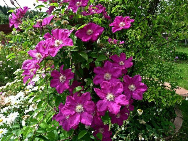 Как и чем подкормить клематисы весной для роста и пышного цветения