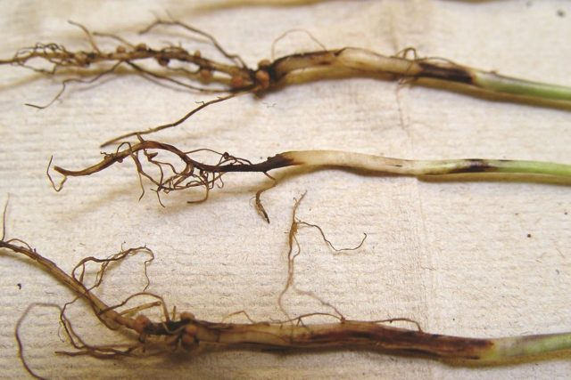 Когда и как лучше сеять бархатцы в открытый грунт